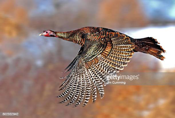 flying turkey - wild turkey stock photos and pictures
