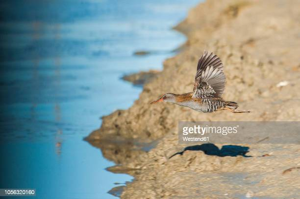 flying water rail - spread wings stock pictures, royalty-free photos & images