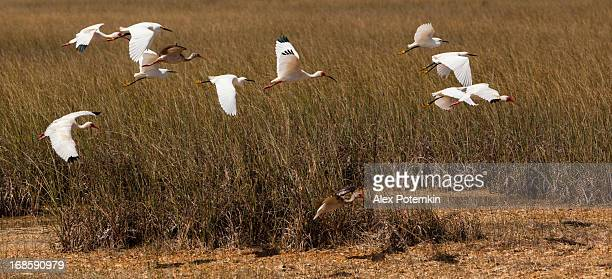 Flying white ibises and snowy egrets