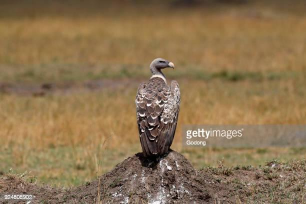 Flying Whitebacked Vulture Masai Mara game reserve Kenya