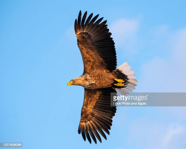 flying white-tailed eagle - spread wings stock pictures, royalty-free photos & images
