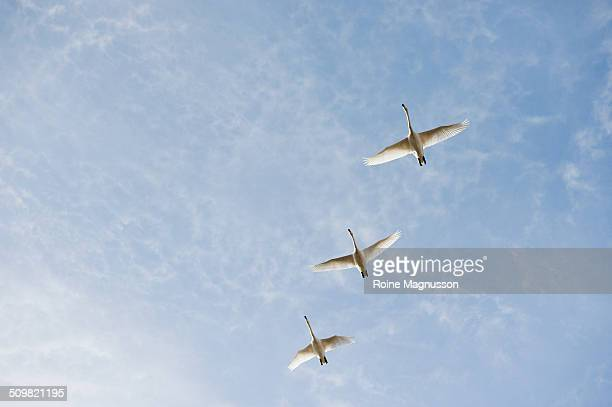 Flying Whooper swans