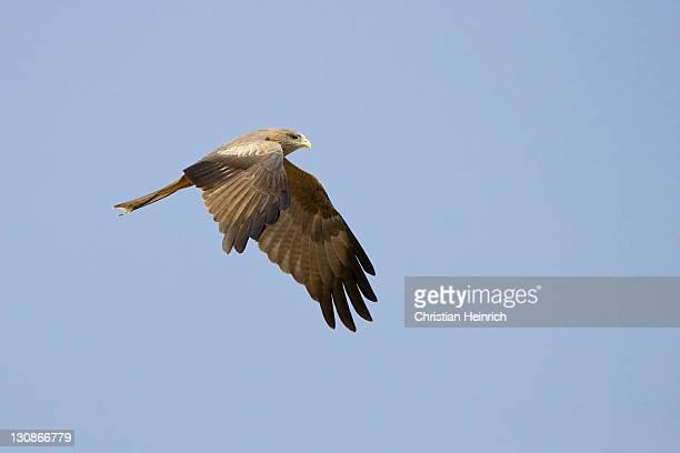Flying Yellow-billed Kite (Milvus aegyptius), Nxai Pan, Makgadikgadi Pans National Park, Botswana, Afrika