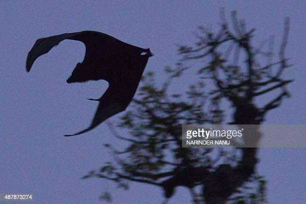 A flyingfox flies above a garden in Amritsar on September 12 2015 AFP PHOTO/ NARINDER NANU