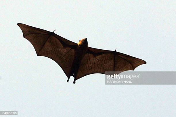 A flyingfox flies above the Ram bagh garden in Amritsar on February 18 2009 AFP PHOTO/NARINDER NANU