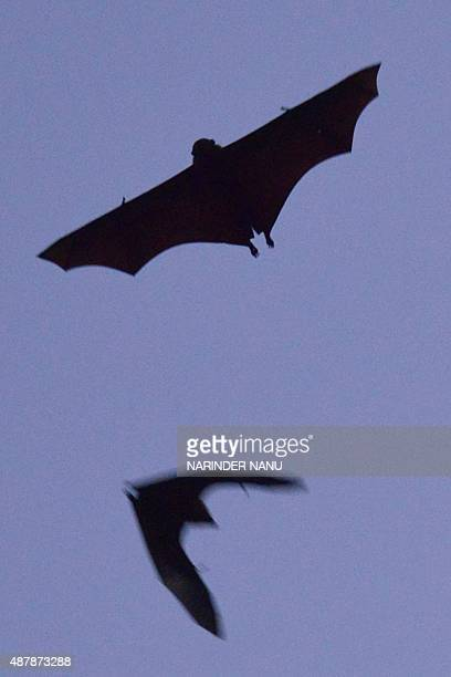 Flying-foxes fly above a garden in Amritsar on September 12, 2015. AFP PHOTO/ NARINDER NANU