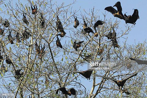 Flyingfoxes hang upsidedown in a tree at Ram bagh garden in Amritsar on February 18 2009 AFP PHOTO/NARINDER NANU