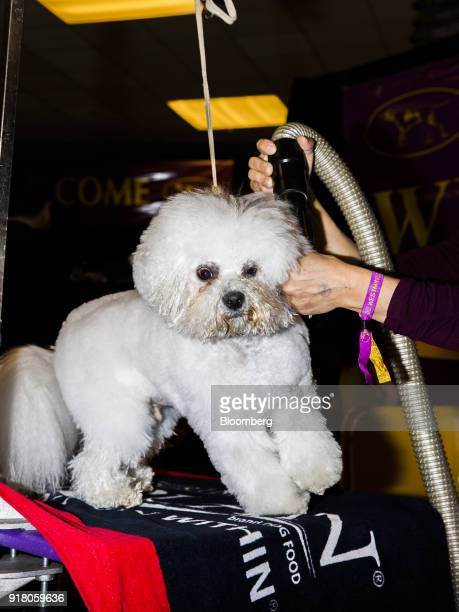 Flynn a Bichon Frise is groomed before competing in the Best in Show category at the 142nd Westminster Kennel Club Dog Show in New York US on Tuesday...