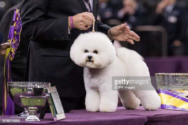 Flynn a Bichon Frise was the overall winner / Best in Show The 142nd Annual Westminster Kennel Club Dog Show hosted in New York