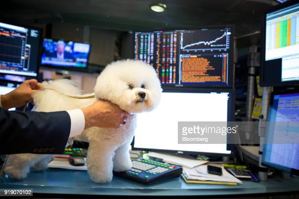 Flynn the Bichon Frise who won Best in Show at the 142nd Westminster Kennel Club Dog Show stands for a photograph on the floor of the New York Stock...