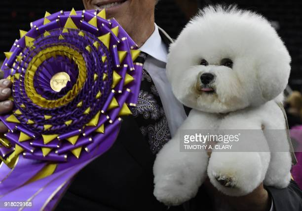 Flynn the Bichon Frise with handler Bill McFadden poses after winning Best in Show at the Westminster Kennel Club 142nd Annual Dog Show in Madison...