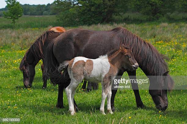 foal and mare Icelandic Horse Icelandic Pony