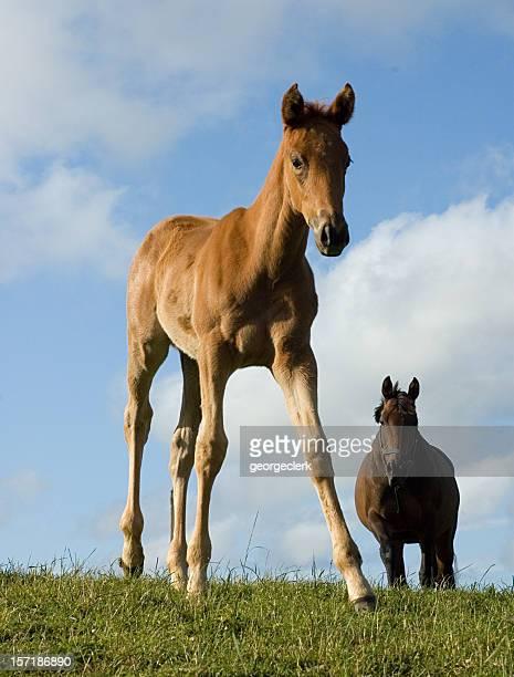 foal and mother - pony play bildbanksfoton och bilder