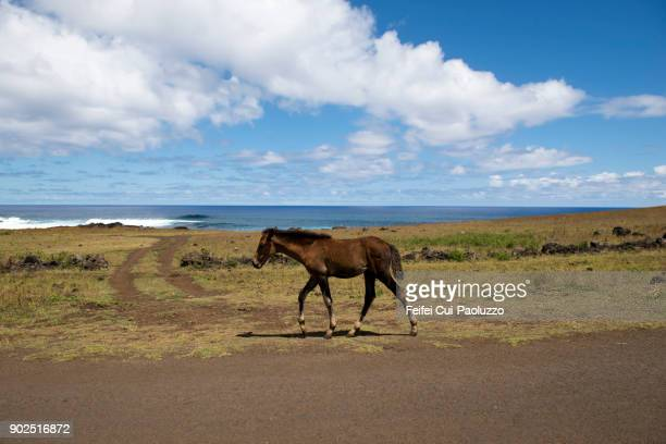 a foal at vaihu, easter island, chile - horse easter stock pictures, royalty-free photos & images