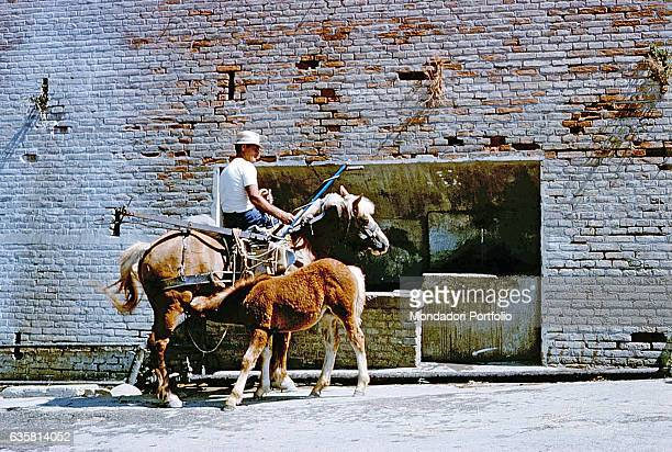 Foal drinking his mother's milk Basilicata 1978