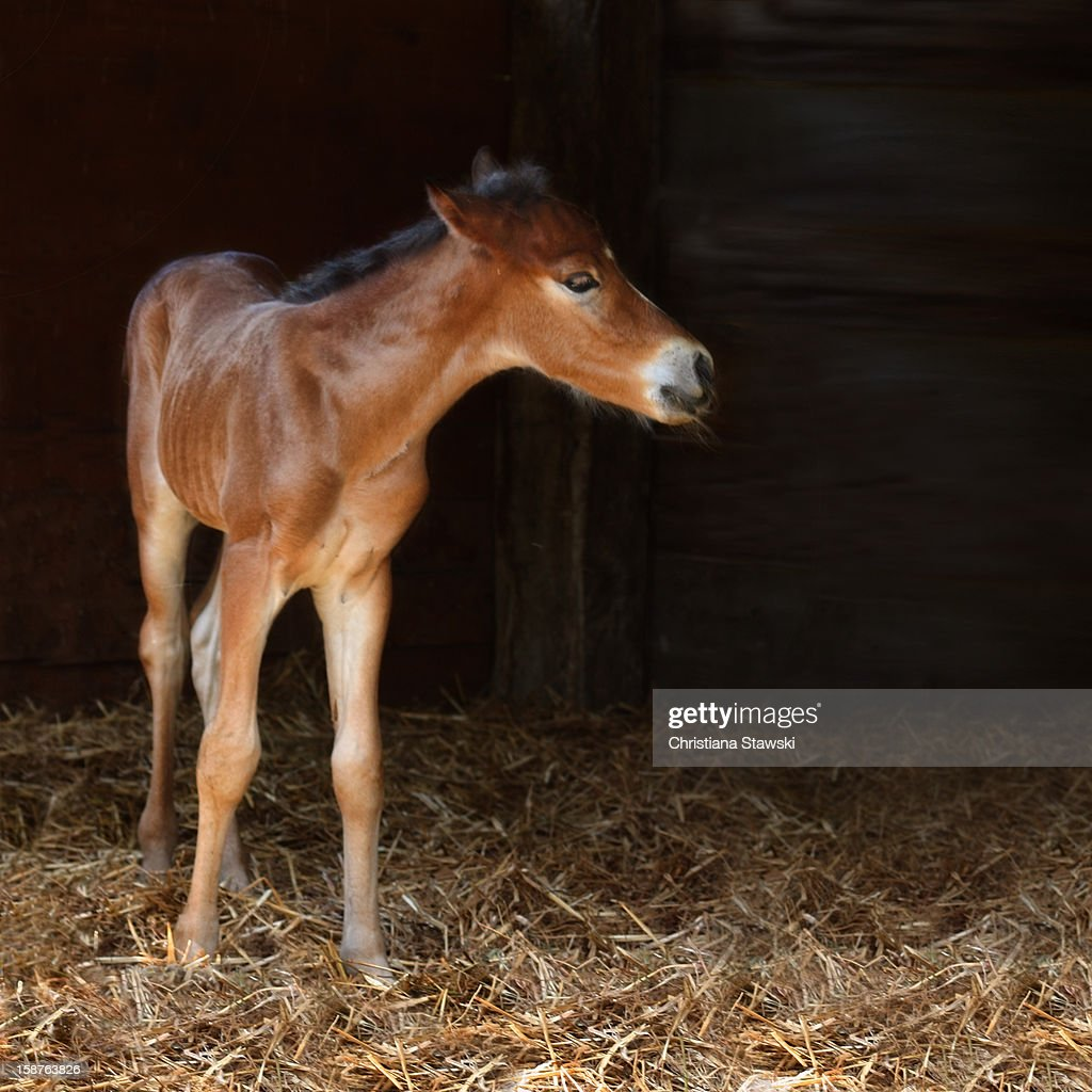 Foal in a stable : Stock Photo