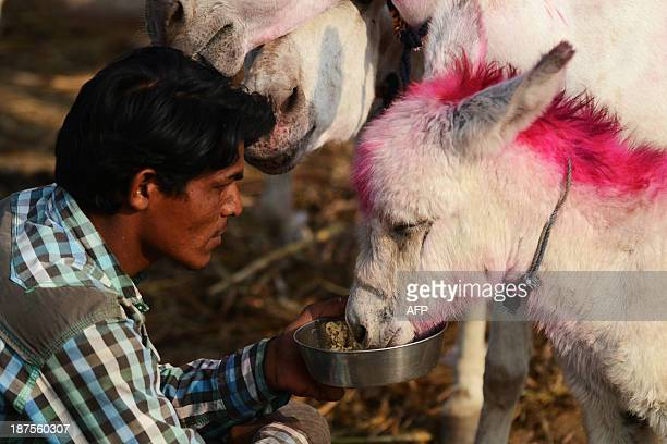 A foal receives food from an Indian donkey trader during this year's donkey fair at Vautha village some 50 kms from Ahmedabad on November 10 2013...