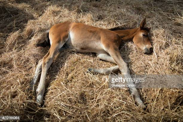 Foal rests on the straw