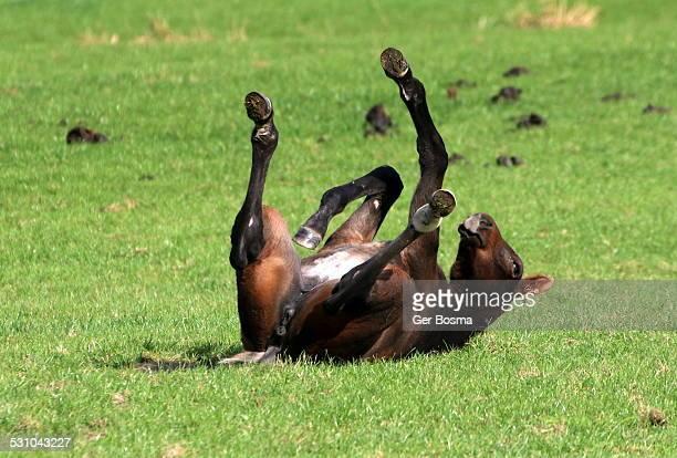 Foal Rolling on Back