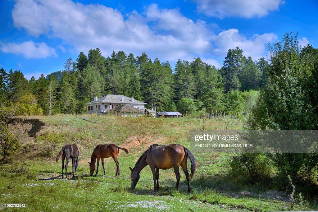 Foals at Iliochori : Stock Photo
