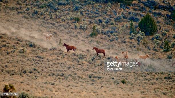 foals playing 3 wild horses steens mountain near malhuer wildlife refuge 6 - steens mountain stock pictures, royalty-free photos & images