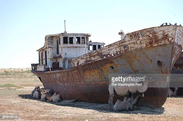 Downloaded Email 7/6/2007 CREDIT Peter Finn / TWP Zhambul Kazakhstan Camels shade by abandoned fishing boats on the driedup seabed of the Aral Sea...