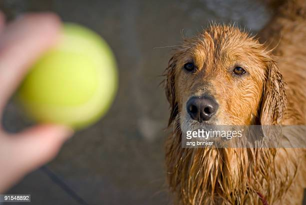 focus of a golden retriever - tennis ball stock pictures, royalty-free photos & images