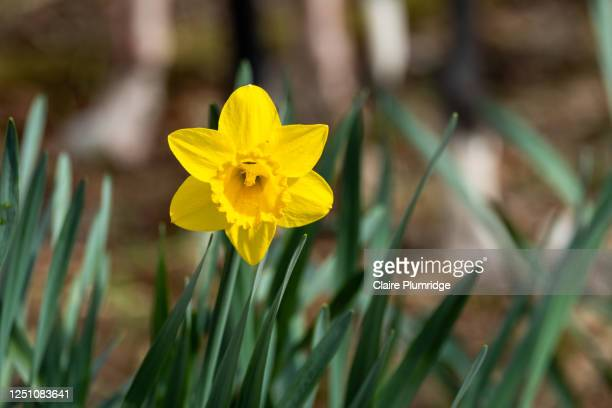 focus on a single daffodil growing in the countryside - flower head stock pictures, royalty-free photos & images