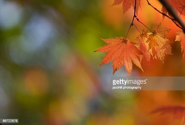 focus on autumn - 八幡平市 ストックフォトと画像