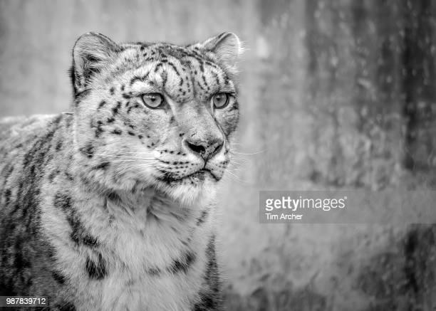 focus - leopardo delle nevi foto e immagini stock