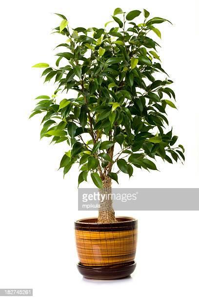 ficus árbol en flowerpot