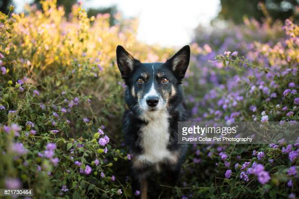focused dog in flowers outdoors - mixed breed dog stock pictures, royalty-free photos & images