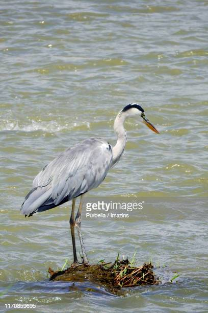 a focused heron - purbella stock photos and pictures