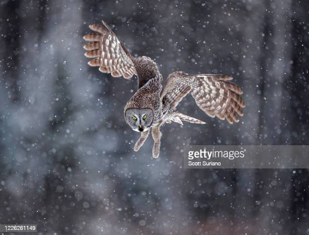 focused - owl stock pictures, royalty-free photos & images