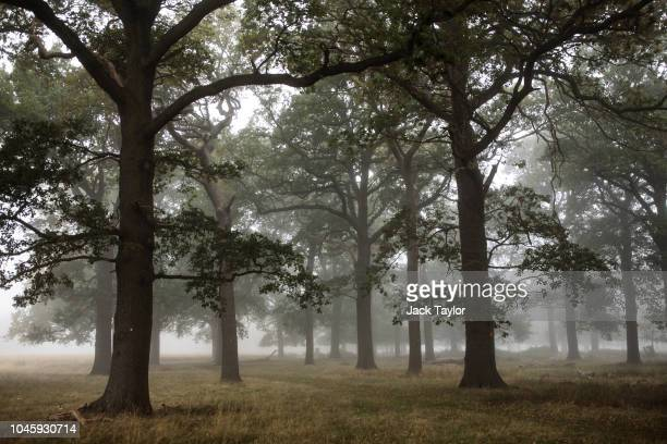 Fog and mist hangs around the trees in Richmond Park on October 5 2018 in London England The months of Autumn are rutting season for deer which see...