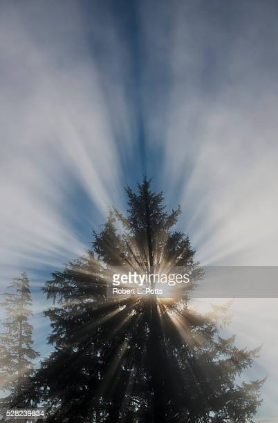 Fog and sunlight make a sunburst in a tree; Astoria, Oregon, United States of America