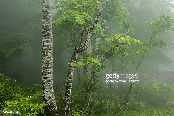Fog cover, the mystery of the fresh green of the forest