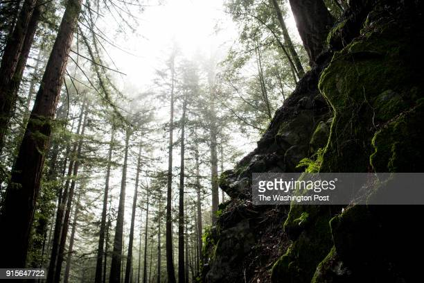 Fog settles on a forest which includes Coastal Redwood trees along Highway 9 in the Henry Cowell Redwoods State Park in Felton California on January...