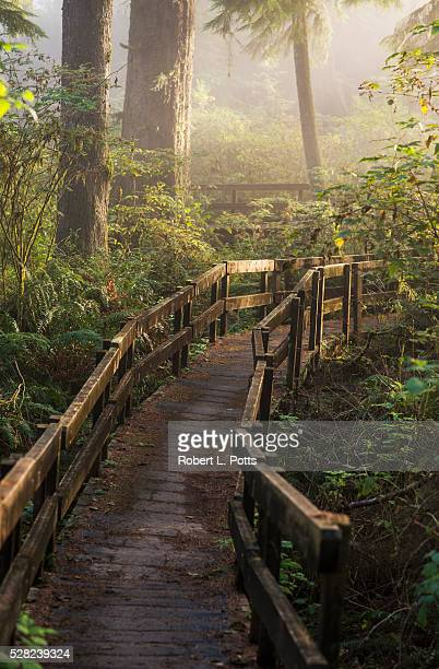 Fog softens the sunlight in the forest, trail to the Cathedral Tree; Astoria, Oregon, United States of America