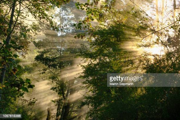 fog with lateral sunrays in the forest, nature reserve isarauen near niederhummel, upper bavaria, bavaria, germany - vista lateral stock pictures, royalty-free photos & images