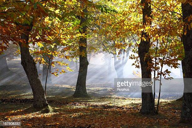Foggy Autumn Chestnut Forest in  Tuscany