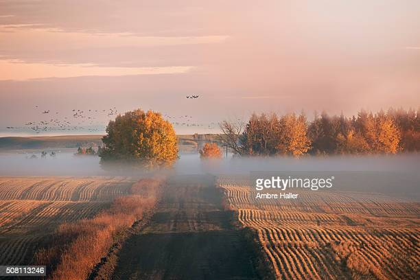 foggy autumn sunrise on the prairies, geese fly in background - canadian prairies stock photos and pictures