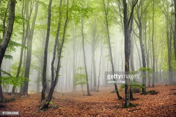 foggy beech forest - nature stock pictures, royalty-free photos & images