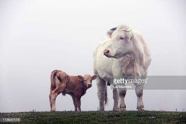 a foggy day - calf stock pictures, royalty-free photos & images