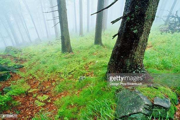 foggy forest, germany - wasserform stock-fotos und bilder