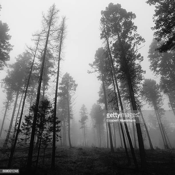 Foggy forest in Montana