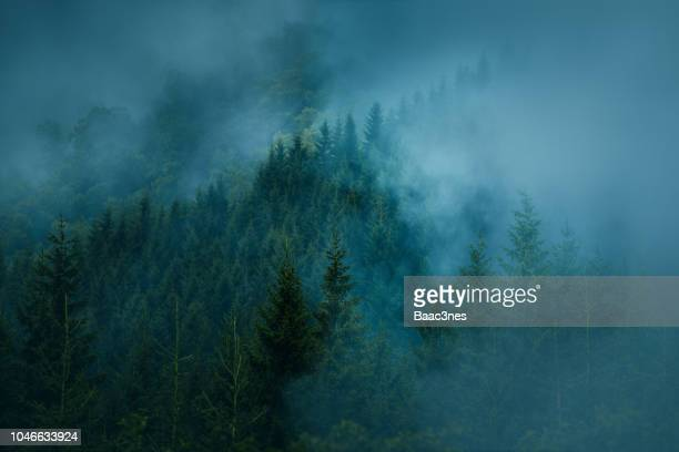 foggy forest, norway - spruce tree stock pictures, royalty-free photos & images