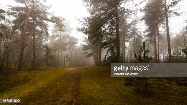 Foggy Forest Path 'Pine'
