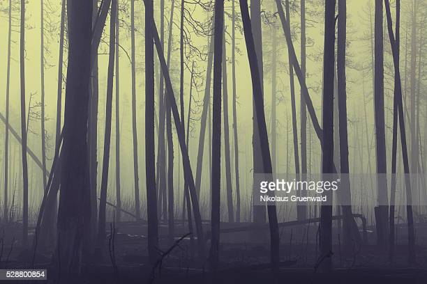 foggy forest - ash tree stock pictures, royalty-free photos & images