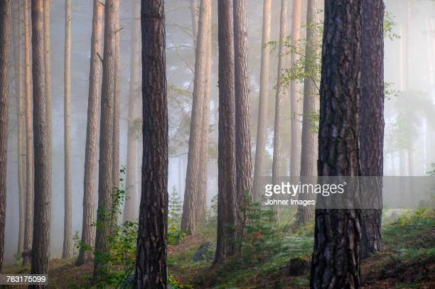 foggy forest - tree trunk stock photos and pictures